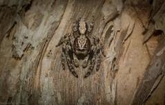 Clynotis on paperbark (dustaway) Tags: arthropoda arachnida araneae araneomorphae salticidae clynotisseverus jumpingspider australianspiders broadleavedpaperbark spideronbark ballina northcoast nsw nature australia araignee spinne natur