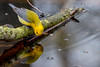 Prothonotary warbler (ricmcarthur) Tags: prog slideshow morpeth ontario canada ca protonotariacitrea warbler prothonotary rondeau ricmcarthur rickmcarthur rondeauric