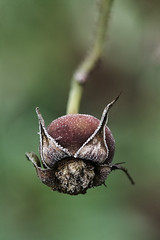 (crosslens) Tags: frost plant rose hip