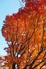 2017 Autumn leaves #10 (Yorkey&Rin) Tags: atami autumnleaves bluesky em5markii himenosawapark japan japanesemaple latefall momiji november olympus olympusm14150mmf4056ii rin shizuoka uc290082 モミジ゙ 紅葉 静岡県 熱海市 晩秋 姫の沢公園