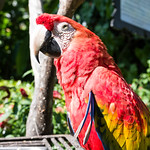 Scarlet macaw face thumbnail