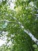 Lac du Flambeau, WI, Tippecanoe Lake, Birch Tree Foliage (Mary Warren 9.6+ Million Views) Tags: lacduflambeau northwoods summer vacation nature flora plants green leaves foliage trunk tree birch