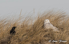 The staredown... (Anne Marie Fraser) Tags: crow americancrow owl snowyowl wildlife nature ocean dune dunes grass birds staredown