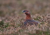 Red Grouse (Martial2010) Tags: red grouse angus glen heather canon scotland