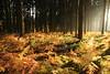 forêt d'épicéas et ses fougères rougoyantes (Kaïyah) Tags: novembre automne fougères soleil couchant lumière autumn woods forest sunset light