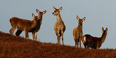Red Deer by Gavin MacRae - Group of red deer in the Highlands of Scotland regarding me with suspicion