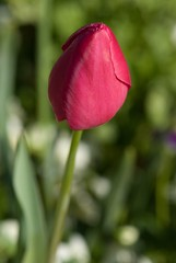 Tulip (voeuxphotography) Tags: petals petal bloom blossom naturephotography nature flora floral green red tulips tulip flowers flower