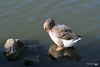 Because beauty matters... (Κώστας Καϊσίδης) Tags: lakekastoria lakeorestiada goose lake reflection outdoor nature kastoria greece hellas
