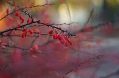 Intense red (Baubec Izzet) Tags: baubecizzet pentax bokeh nature red fruit dogberry