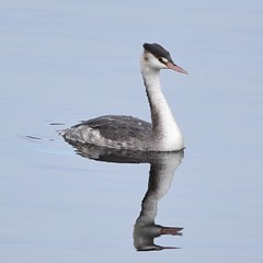 Great Crested Grebe (markgosling94) Tags: nature nikon wildlife bird crested grebe
