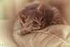 Happy Caturday (Irina1010_out for sometime) Tags: cat kitten sleepy pillow caturday feline cute lovely canon coth5