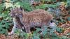 Junge Luchse beobachten aufmerksam (waidlerwiki) Tags: luchs baby lynx lynxlynx animal groskatze nationalparkbayerischerwald bavarianforestnationalpark landkreisfreyunggrafenau nationalparkzentrumlusen neuschönau bayerischerwald bayerwald bavaria germany