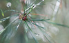 awakenings (Emma Varley) Tags: pine tree cone autumn growth bokeh light needles evergreen