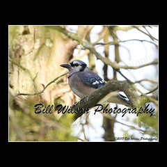 blue jay (wildlifephotonj) Tags: bluejay bluejays wildlifephotographynj naturephotographynj wildlifephotography wildlife nature naturephotography wildlifephotos naturephotos natureprints birds bird