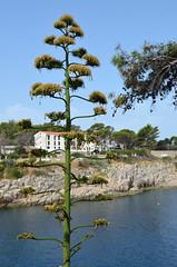 Ancient [Velj Losjni - 10 August 2017] (Doc. Ing.) Tags: 2017 losinj croatia summer seaside velilosinj plant kvarnergulf kvarner