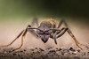 Ponerinae (PatHDTattoo) Tags: ant fourmi ponerinae insect insecte macro stacking focusstacking mpe65 canon cognisys