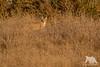 Perfect Camouflage (fascinationwildlife) Tags: animal mammal wild wildlife nature natur national park point reyes winter camouflage grass dusk bobcat cat feline elusive lynx rufus luchs rotluchs california usa america coast