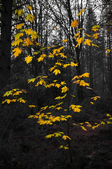 Yellow in the forest (Middle aged Nikonite) Tags: yellow forest trees autumn outdoor landscape nature nikon d750 foresthill california leaf