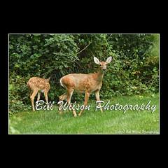 doe and fawn (wildlifephotonj) Tags: doeandfawn deer whitetaileddeer wildlifephotographynj naturephotographynj wildlifephotography wildlife nature naturephotography wildlifephotos naturephotos natureprints