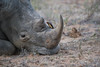 White Rhino, Red-Billed Oxpecker (Mike/Claire) Tags: bird redbilledoxpecker whiterhino 2016 southafrica tandatula timbavati