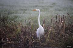 Grote Zilverreiger - Great Egret (Thijs de Bruin) Tags: grotezilverreiger greategret wit geel yellow white green groen