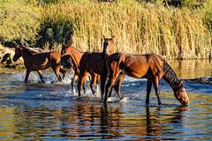 1711 Butcher Jones34 (nooccar) Tags: 1711 dcaphotos arizona devonchristopheradams nov2017 november saguarolake saltriver adventure devoncadamscom outdoors photowalk wanderlust