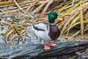 Duck (maclapt0p) Tags: ouwehandsdierenpark rhenen animals netherlands nederland
