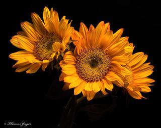 Autumn Sunflowers 1012 Copyrighted