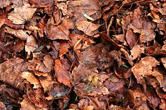 wet leaves (Kens images) Tags: rain leaves fall colours shapes autumn endings fallen nature canon ontario mixture