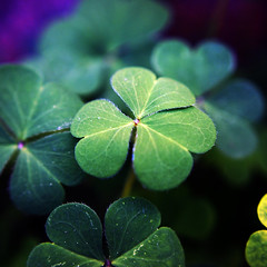 Clover (rustman) Tags: green tiny leaves clover nature santaclara square vibrant saturated color olympus epl3