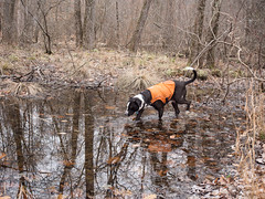 A Swamp Dog in her element (Dave Landry) Tags: flickr wetland koehlertrail scenery places northamerica morriscounty newjersey dog land environment unitedstates boontontownship swamp kate america us usa unitedstatesofamerica ecology ecosystem environmentalism nature swampland