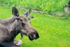 Hi, there! (RPahre) Tags: moose anchorage alaska