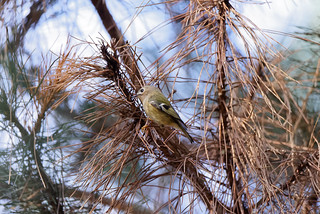 a goldcrest (1/2) : one of the smallest bird in the world