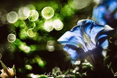 Blau blau blau blüht der E... (udo w-a-n-n-i-n-g-e-r) Tags: blumen blumenwanninger bokeh bokehlicious flora manualfocus pflanzen vintagelens beautiful beyondbokeh blur bokehgraph depthoffield detail dof dreamy extremebokeh flower flowers garden greatphotographers macro macrotube macros manual manualexposure manualfocusing manuallens manualondigital mth nature ngc petals preset primelensprime silkybokeh smooth smoothbokeh udowanninger vintage lens focus spring