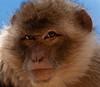 Berberaffe (noise-fotografie.de) Tags: deutschland erfurt thüringen tierpark zoo säugetiere affen tiere berberaffe affe animal ape apes barbaryape barbarymacaqu germany macacasylvanus säuger säugetier säugetierart säugetierarten thuringia tier magot mammal mammalian