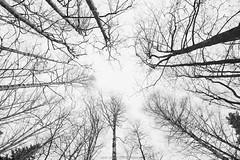 Surrounded... (laurilehtophotography) Tags: blackandwhite bw suomi finland jyväskylä vaajakoski trees forest winter sky nikon d610 sigma 20mm f14 art photography simple intimate nature luonto metsä amazing europe