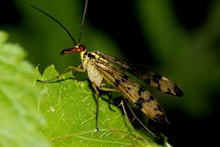 Scorpion fly 210817 IMG_0456