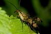 Scorpion fly 210817 IMG_0456 (clavius2) Tags: scorpion fly yellow orange coloured beak antennae patterned wings mecoptera panorpa communis or germanica insect macro rutland water nature reserve egleton oakham england uk