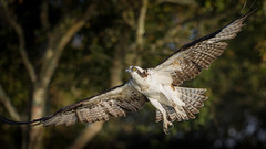 Into The Light (gseloff) Tags: osprey bird flight bif wingspan talons nature wildlife mudlake armandbayou pasadena texas kayakphotography gseloff