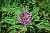 Jackson Hole 1707-1263.jpg (DevonshireMedia) Tags: wyoming jacksonhole travel 2017 grandtetons tetons mountainplants plants flowers