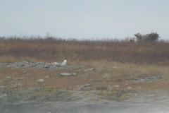 Snowy Owl (rwkphotos) Tags: novascotia canada snowyowl buboscandiacus