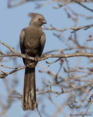 Grey Go-away bird. (leendert3) Tags: leonmolenaar wildlife nature krugernationalpark southafrica bird sunrays¨5 ngc coth5 npc