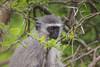 Young eyes of Vervet (Coisroux) Tags: monkey vervet kwandwe safari wildlife eyes trees thorns vulnerable babyanimal d5500 nkond southafricanwildlife leaves