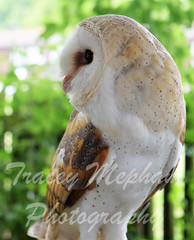 BirdDSC_5197 (2) wm (traceymepham) Tags: tracey mepham photography andover wall art picture bird birds nature wild wildlife fly wing wings feathers barn owl captive show display luna feather beak soft tame
