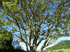 Branches in a tree at Stokesay (Dunnock_D) Tags: uk unitedkingdom britain england shropshire stokesay castle tree blue sky