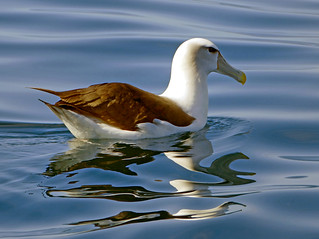 The white-capped albatross (Thalassarche cauta steadi)