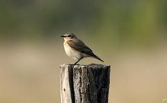 Traquet motteux_Oenanthe oenanthe (nicéphor) Tags: tamron150600 oiseaux wildlife bird vögel nature faunecanon eos7d