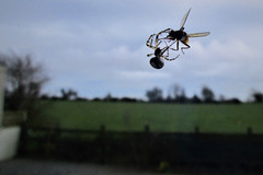 Al fresco dining (JulieK (thanks for 6 million views)) Tags: hfdf fly spider garden arachnid diptera 117picturesin2017 canonixus170 fence field wexford fauna invertebrate animal rural ireland irish macro