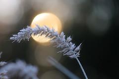 Frosty Morning Sun (-SOLO--) Tags: flora 7dwf bokeh sun fountaingrass november frost morning 2017 canon 6d dof hoarfrost