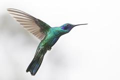 Colibrí 1 (José M. Arboleda) Tags: ave colibrí troquilino trochilinae léguaro coconuco colombia canon eos 5d markiv ef70200mmf4lisusm jose arboleda josémarboleda
